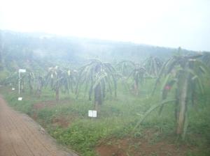 Kabut tipis menyapu kebun buah naga